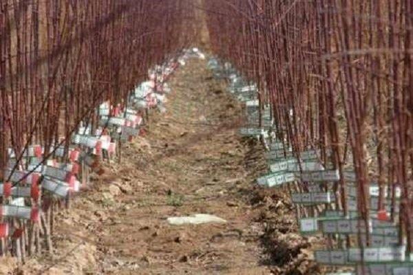 فراوری یک میلیون اصله نهال گرمسیری در مهران