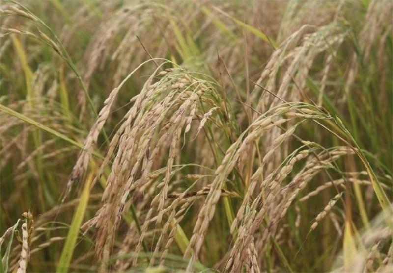 برنج مازندران قابلیت عرضه در ویتنام را دارد