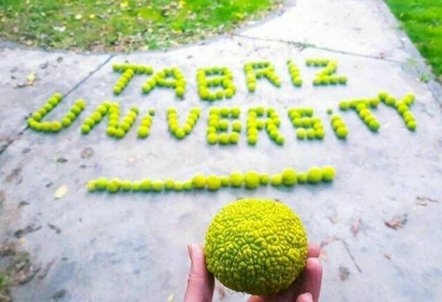 مشهورترین و متفاوت ترین میوه دانشگاه تبریز