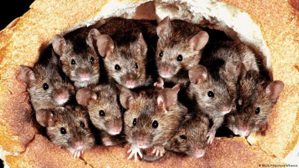 (ویدئو) هجوم موش ها به نیو ساوت ویلز